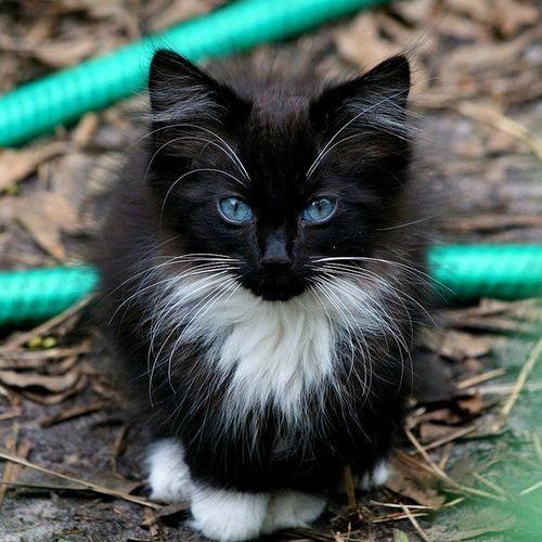 little fluffy kitten blue eyes