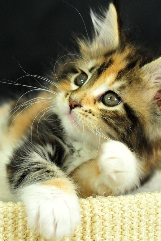 whiskers calico