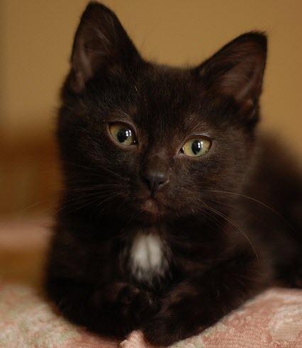 babba black kitten