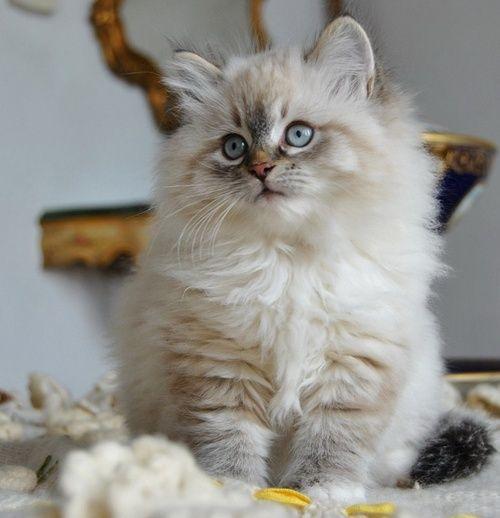 fluffy kitten 2