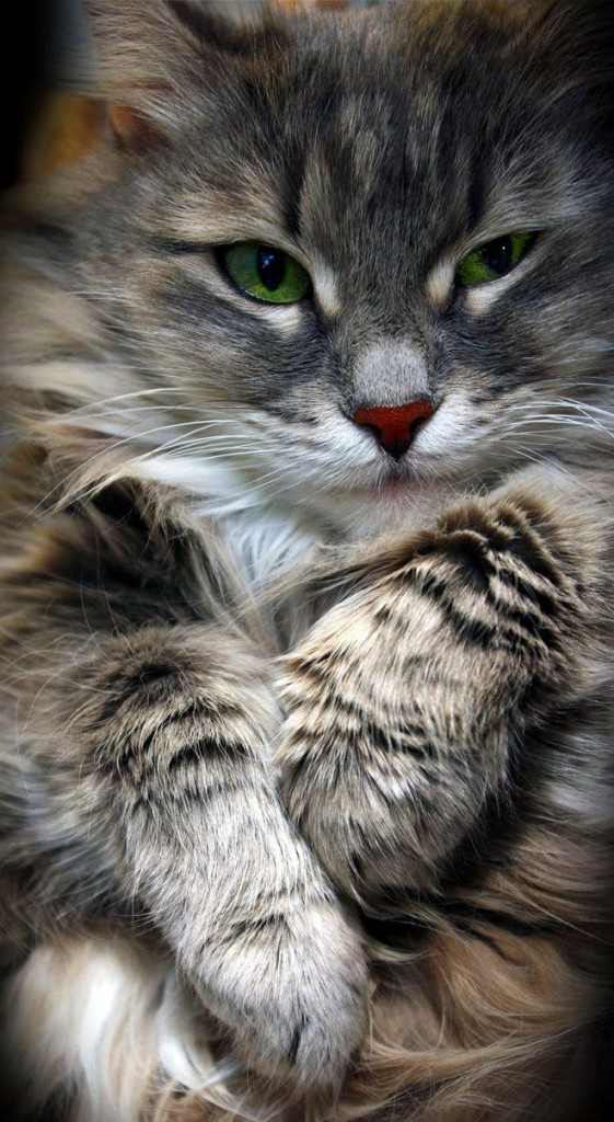 grey maine coon