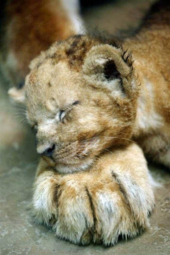 lion cub on paw