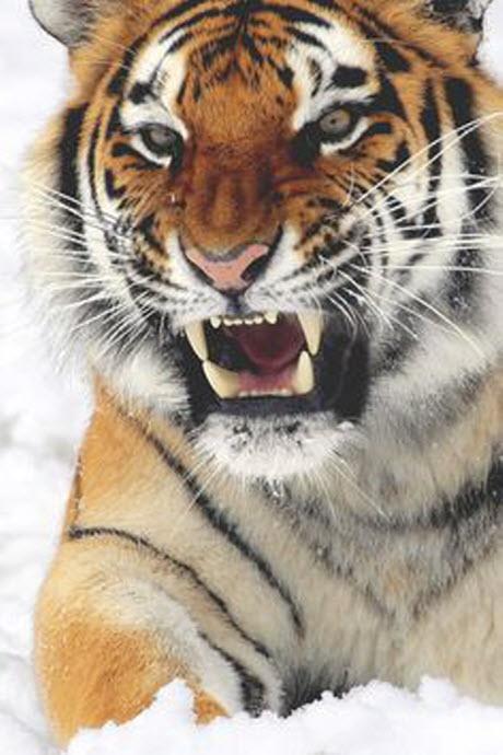 tiger snow 2