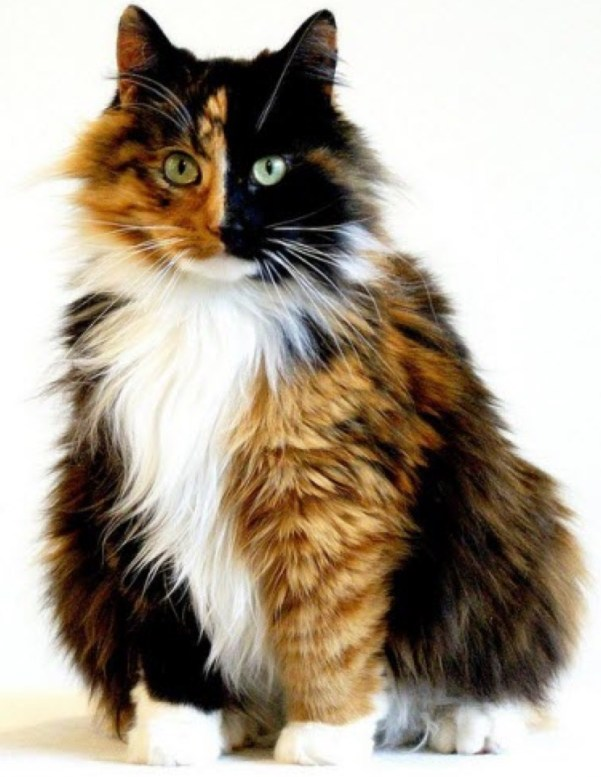 striking long hair calico