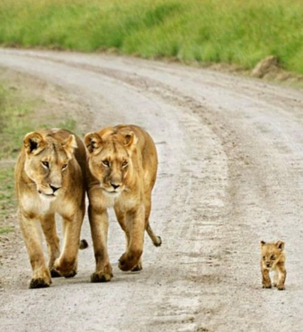 2 lions and cub