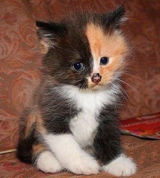 Calico Kitten copy