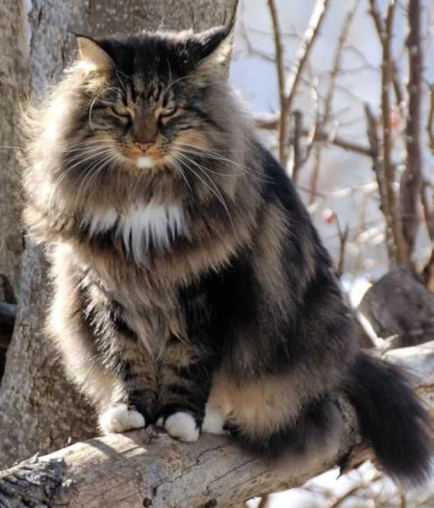 fab maine coon