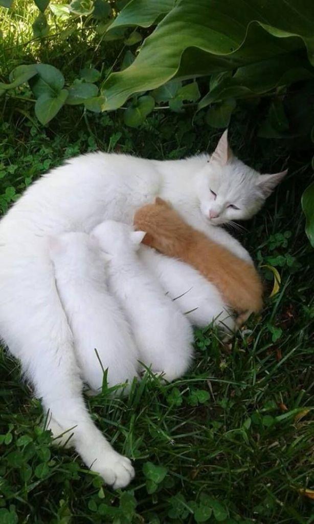 ginger kitten with white