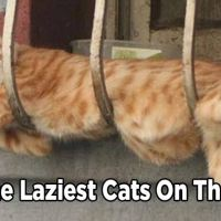 16 of the Laziest Cats on the Planet