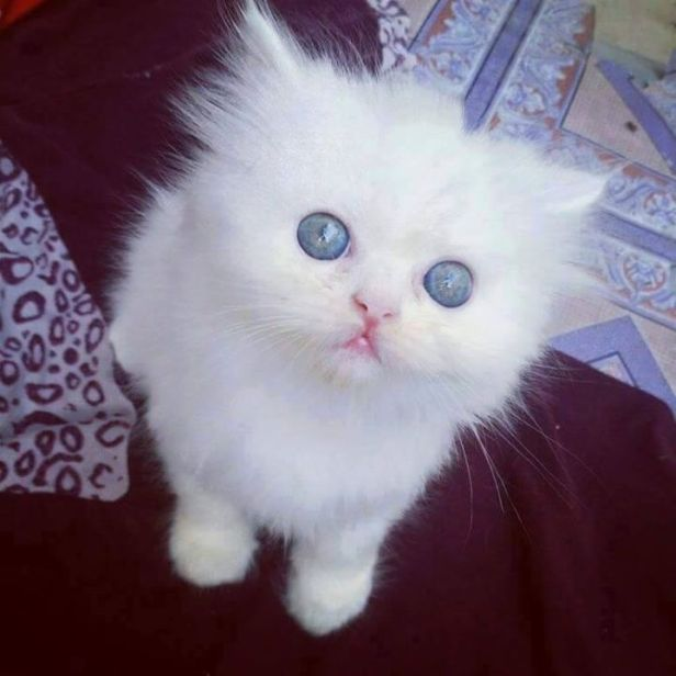 blue eyes furball