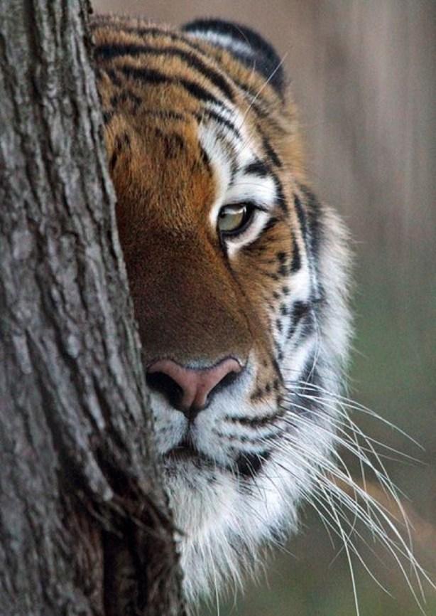 peek tiger
