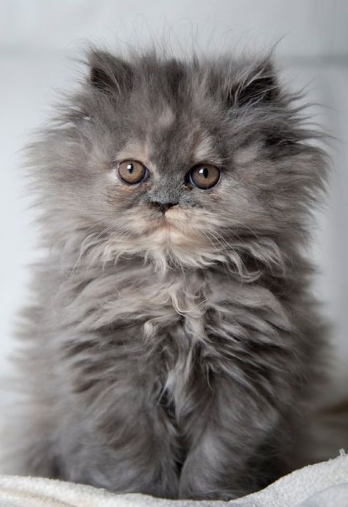 Blue cream persian kitten