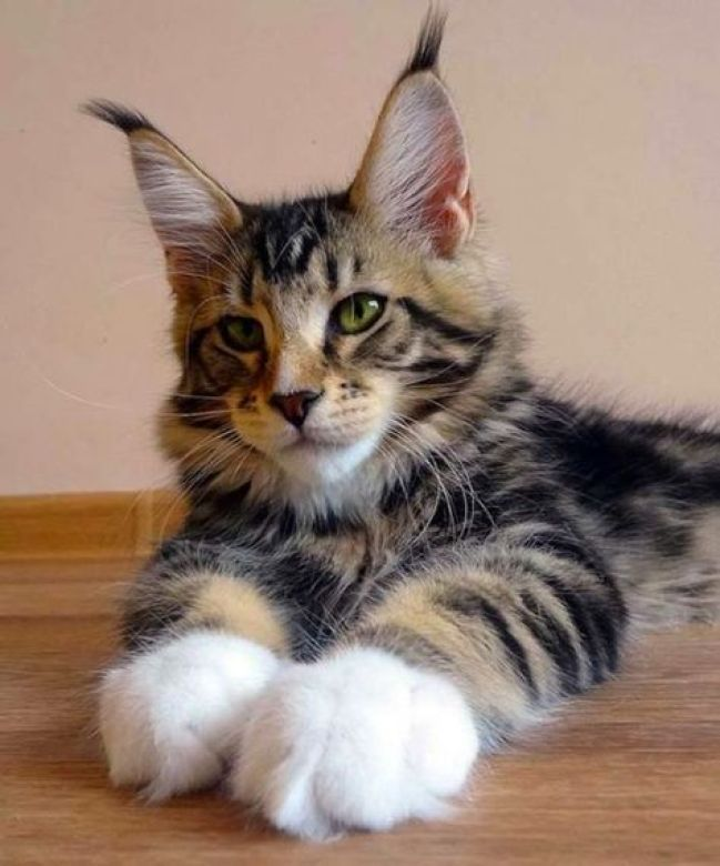 maine coon big paws