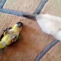 Kitten and Parrot Battle For Supremacy! But They're Really Best Buddies
