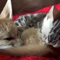 Meet the Fennec Fox Who Thinks He's Part Cat