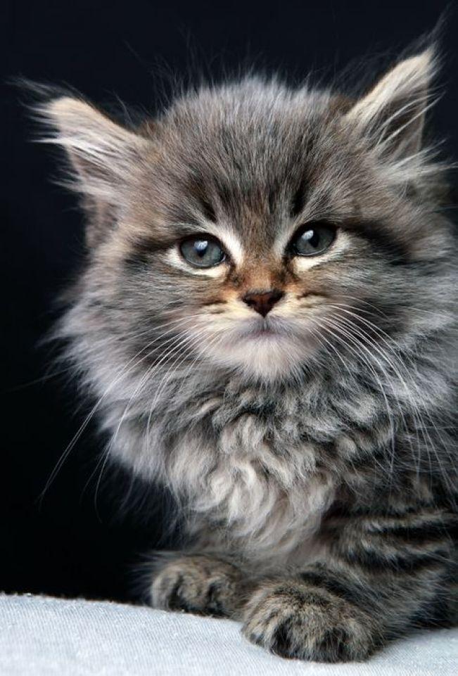likes maine coon kitten