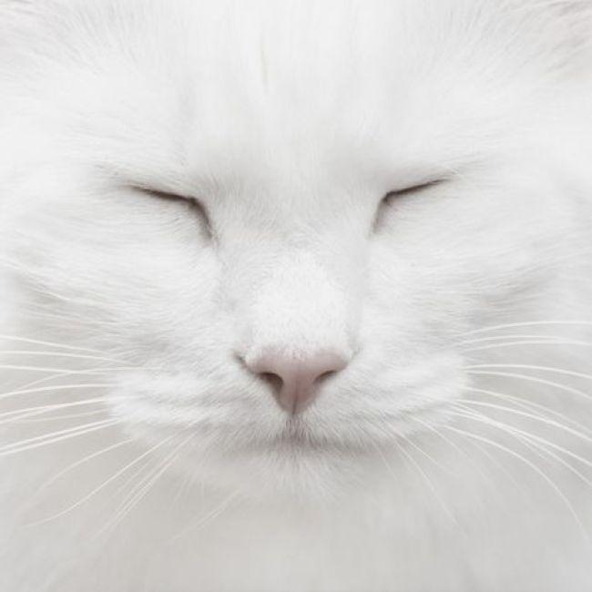 white cat copy