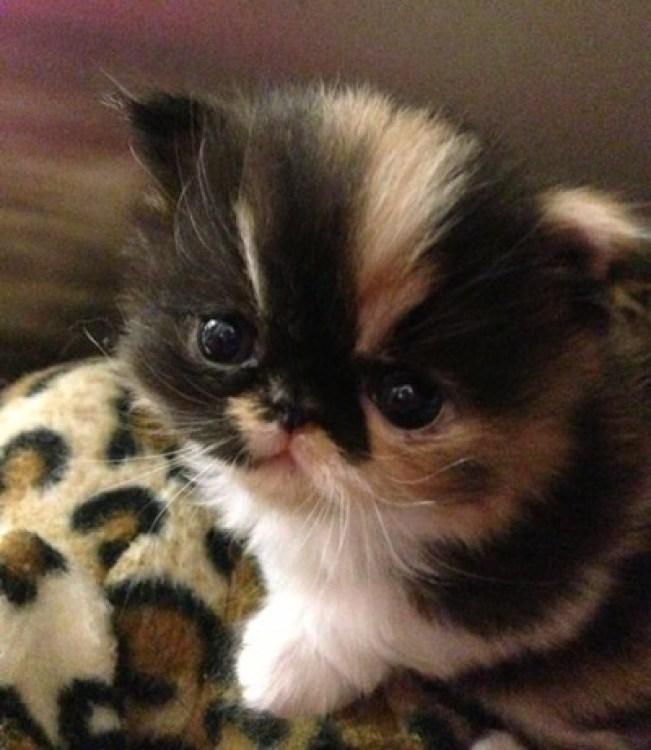 Persian kitten copy