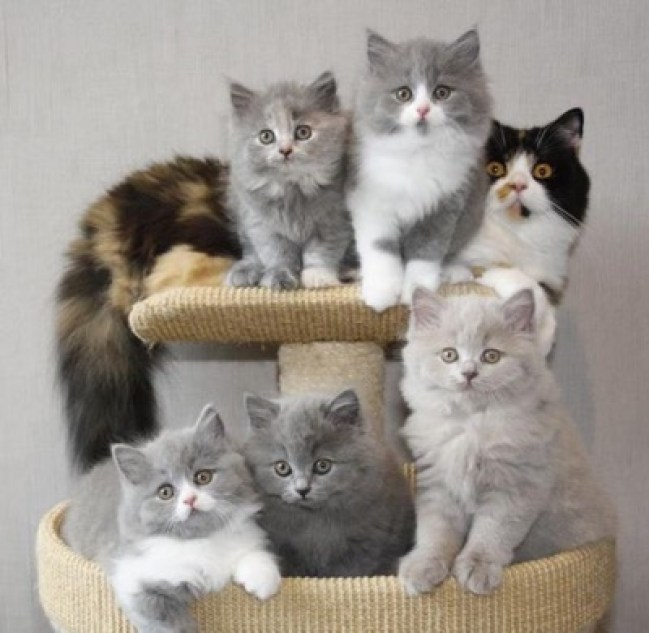 British Longhair Kittens