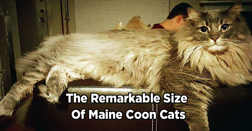 Maine Coon Featured Image