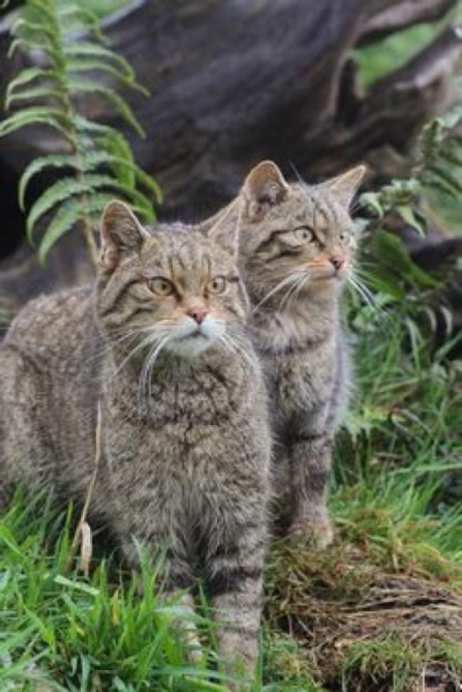 Scottish Wild Cats.