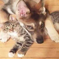 Husky Picked Out Her Own Kitten From Shelter