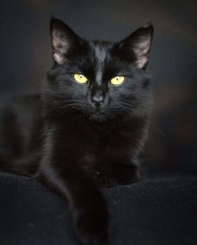 stunning black cat