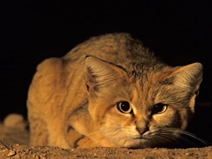 sand cat 1