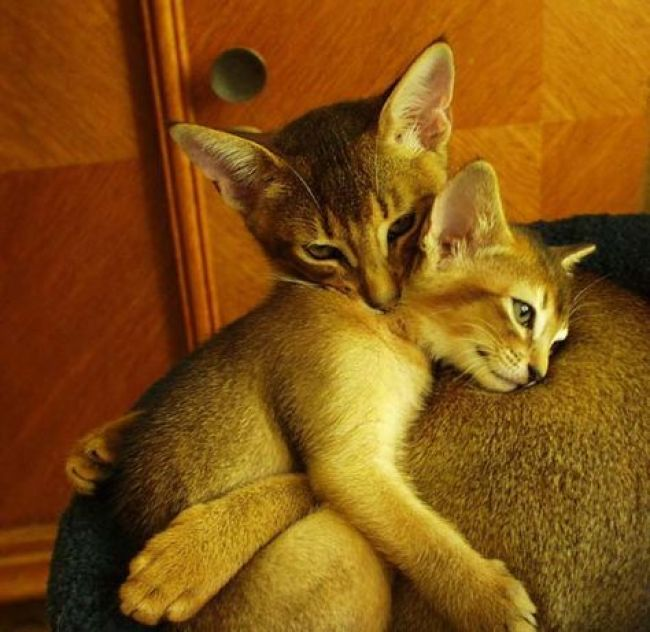 abyssinian-mama-and-kitten