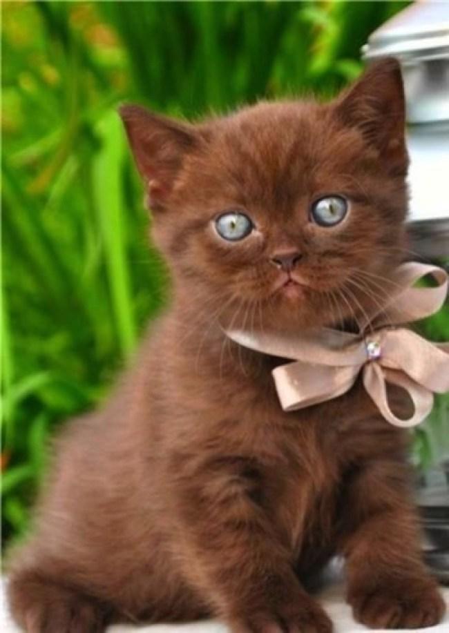 chocolate-colour-kitty