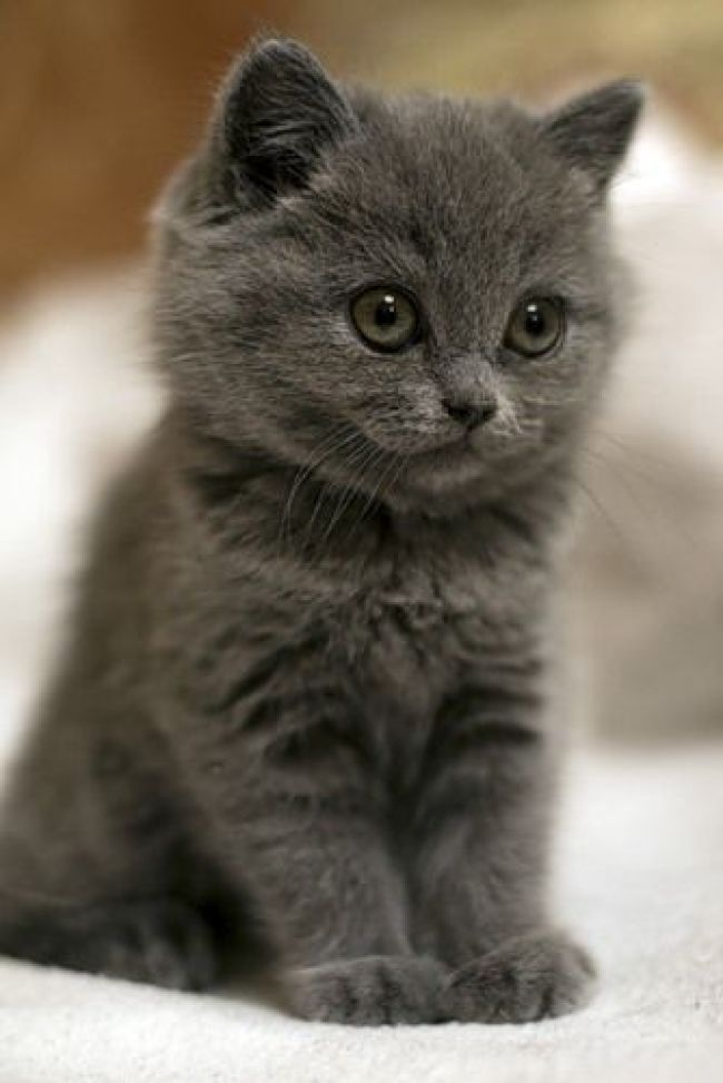 cute grey kitten 3