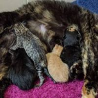 Bobtail Calico Cat Has A Very Special Litter Of Kittens