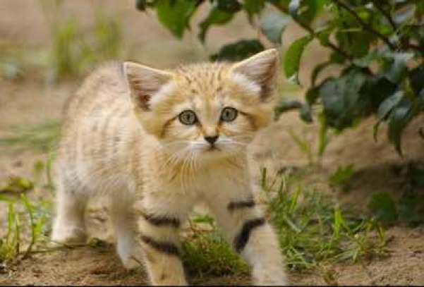 sand cat kitten 1