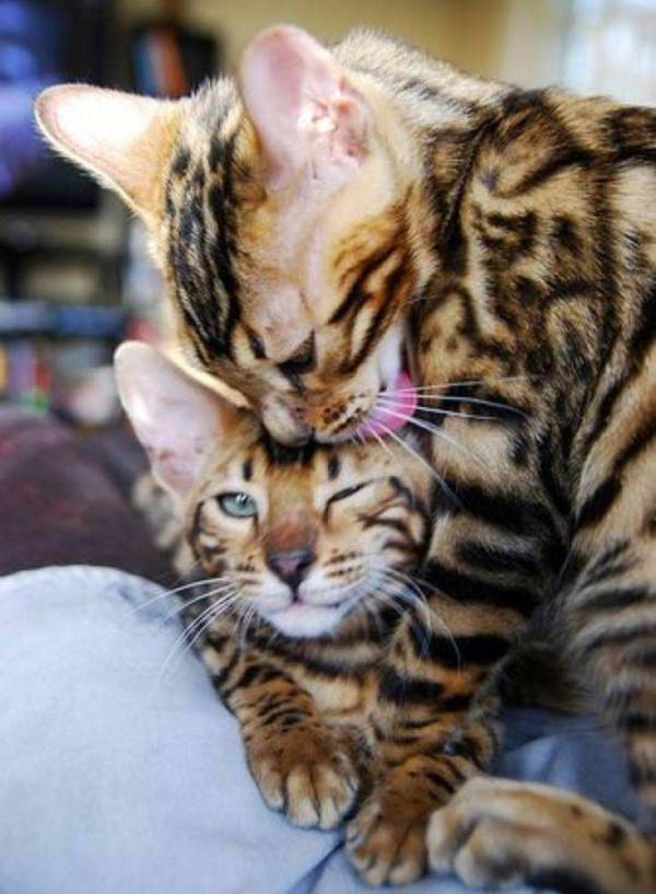 Beautiful Bengals