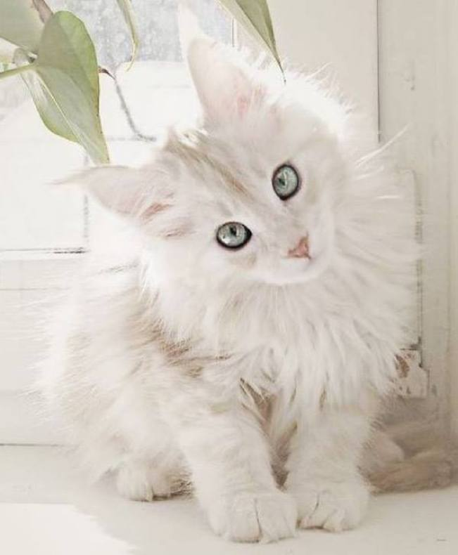 I've not seen many White Maine Coon kitties