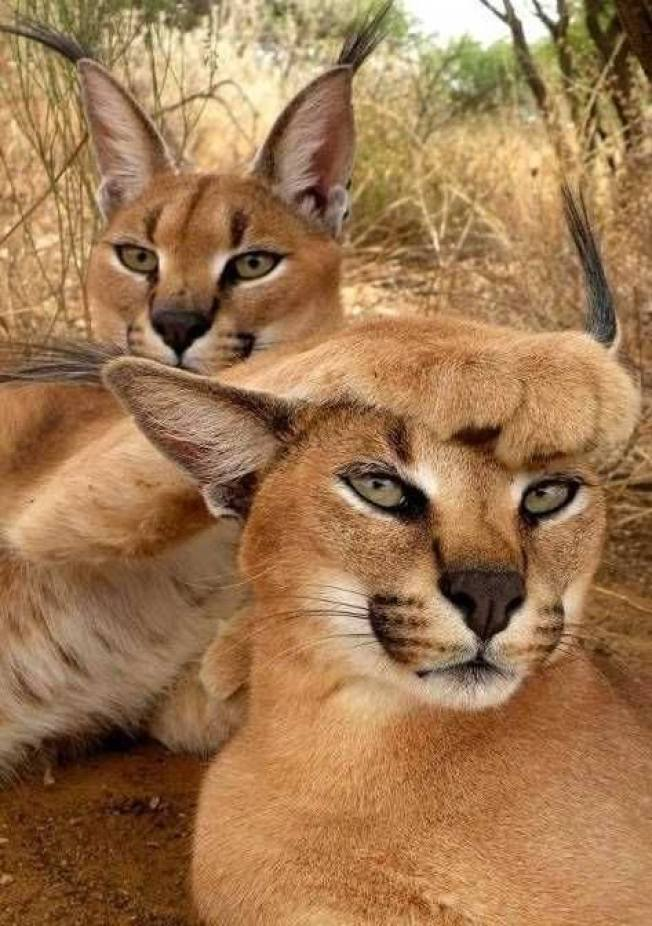 Awesome pic of two Caracals