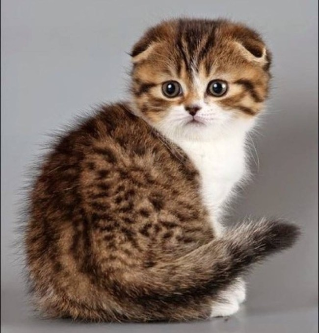 What a adorable Scottish Fold