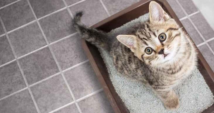 cat blood in urine
