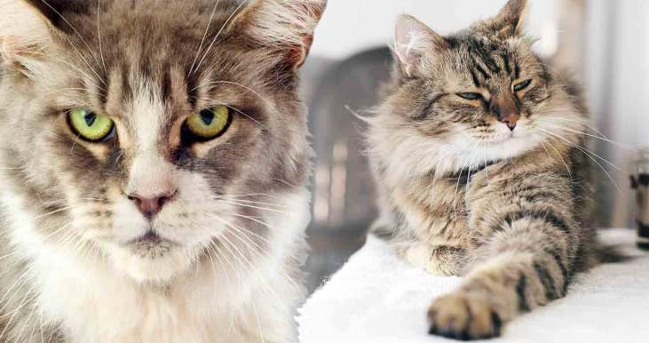 Maine-Coon-cat-breed