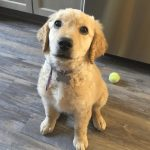 Straight Hair Goldendoodle Guide We Love Doodles