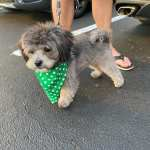 Maltipoo Colors With Pictures White Black Apricot Red Etc We Love Doodles
