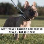 9 Best French Bulldog Breeders In Texas 2020 We Love Doodles