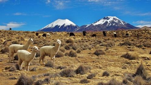 Llamas are evveryones friends!