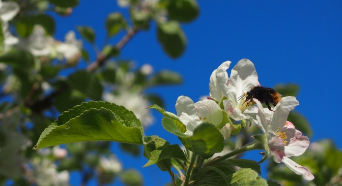 Apple blossom and the bees