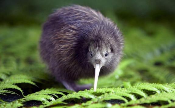 Ich bin keine Kiwi, ich bin ein Kiwi