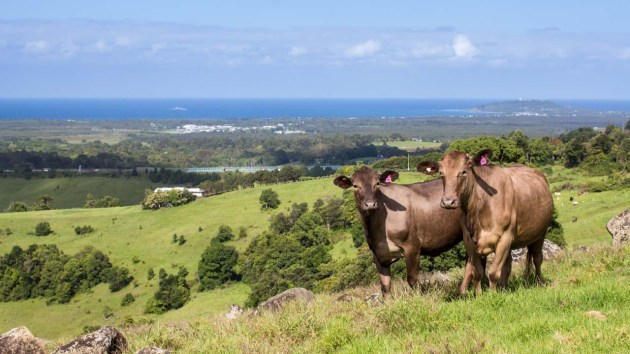 View of Byron Bay and cows