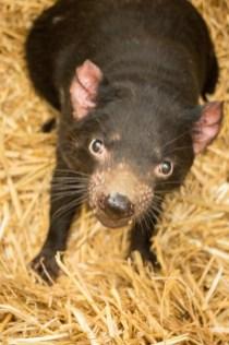 The Tasmanian Devil