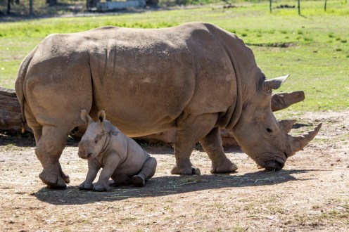 Baby White Rhino in Mom's shade