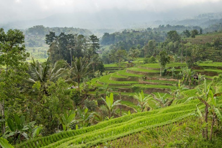 Rice terraces at Jatiluwih