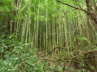 Undurchdringlich ist der Bambuswald
